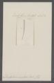 Dentalium incertum - - Print - Iconographia Zoologica - Special Collections University of Amsterdam - UBAINV0274 081 10 0022.tif