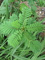 Desmanthus bicornutus 0208.JPG
