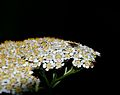 Detmold - 2014-06-13 - LIP-066 - Tanacetum macrophyllum (11).jpg