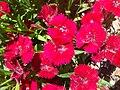 Dianthus-chinensis-20080320.JPG