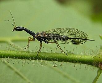 Snakefly - Female Dichrostigma flavipes