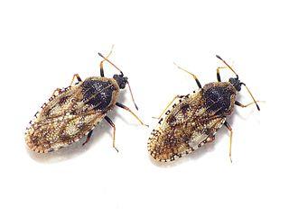 <i>Dictyla echii</i> Species of true bug