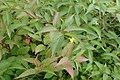Diervilla lonicera kz04.jpg