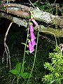 Digitalis purpurea NZ.JPG