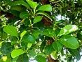 Dillenia alata foliage SF21127.jpg