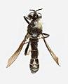 Dioctria atricapilla m1.jpg