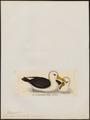 Diomedea melanophrys - 1820-1860 - Print - Iconographia Zoologica - Special Collections University of Amsterdam - UBA01 IZ17900154.tif