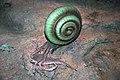 Diorama of a Silurian seafloor - cephalopod eating a eurypterid (sea scorpion) (44804382835).jpg