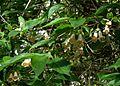 Dipelta floribunda - Flickr - peganum.jpg