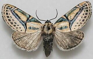 <i>Diphthera</i> (moth) Genus of moths