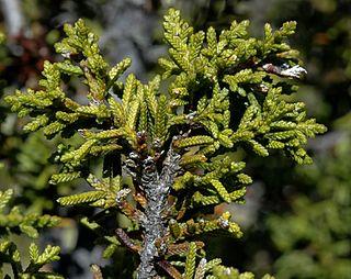 Tasmanian coniferous shrubbery