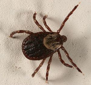 E11 European long distance path - Ticks along E11 carry dangerous diseases