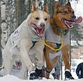 Dogs cresting a hill during Iditarod.jpg
