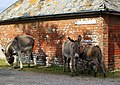 Donkeys in the road outside Penerley Farm House - geograph.org.uk - 654199.jpg