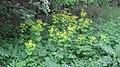Doorwaskervel - Smyrnium perfoliatum (1).jpg