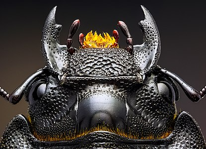 Head of a lesser stag beetle (Dorcus parallelipipedus)