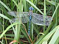Dragonfly in the grass (26724199335).jpg