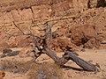Dry Accacia, Hatira Gulch, Negev, Israel שיטה יבשה, נחל חתירה, הנגב - panoramio.jpg