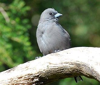 Woodswallow - Dusky woodswallow (Artamus cyanopterus)