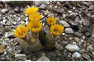 <i>Echinocereus dasyacanthus</i> species of plant
