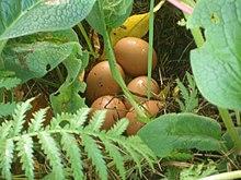 Organic egg production - Wikipedia