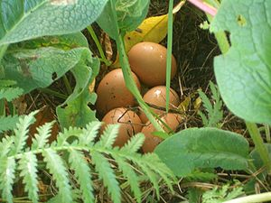 Organic egg production - At an organic farm (in Bruthen, Victoria) chickens sometimes end up laying eggs somewhere other than the owner expected