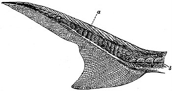 EB1911 Ichthyology - Heterocercal Tail of Acipenser.jpg