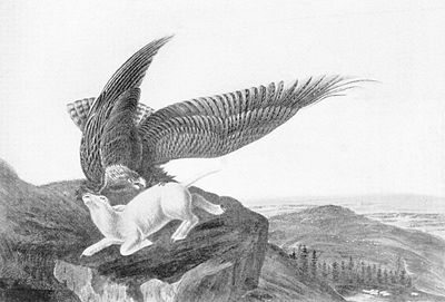 Eagle and Lamb - James Audubon.jpg