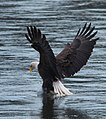 Eagles conowingo (17546116729).jpg