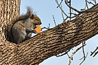 Eastern Gray Squirrel In Chicago.jpg