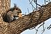 Eastern Gray Squirrel In Chicago.jpg