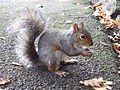 Eastern Gray Squirrel in Singleton Park, Swansea 21 Oct 2007 01.jpg