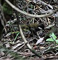 Eastern Whipbird hab - Christopher Watson.jpg
