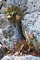 Echeveria-on-granite-Yosemite.jpg