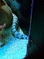 Echidna nebulosa Maui Ocean Center.jpg