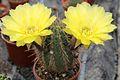 Echinopsis haematantha pm 01.JPG