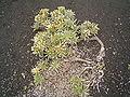 Echium brevirame (Fuencaliente) 01.jpg
