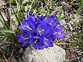 Edraianthus serbicus Голо бърдо.jpg