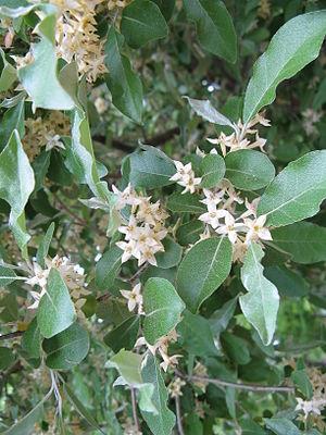 Elaeagnus umbellata - Image: Elaeagnus umbellata 1