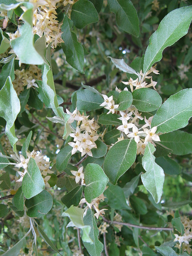 fleurs de l'eleagnus umbellata