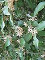 Elaeagnus umbellata1.jpg