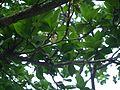 Elaeocarpus sp. (16097204368).jpg