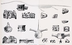 Drawings of a skeleton with a long neck and various bones
