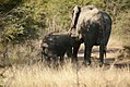 Elephant calf suckling from mother, North West Province (6253211894).jpg