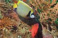 Emperor Angelfish (Pomacanthus imperator) with Coral Hind (Cephalopholis miniata) (6135202737).jpg