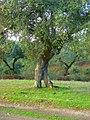 Encina - panoramio (1).jpg