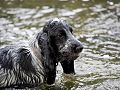 English cocker spaniel in water.jpg