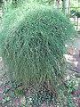Ephedra fragilis subsp. fragilis 01 by Line1.jpg
