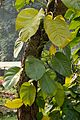 Epipremnum aureum - Agri-Horticultural Society of India - Alipore - Kolkata 2013-01-05 2217.JPG