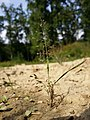 Eragrostis albensis sl26.jpg